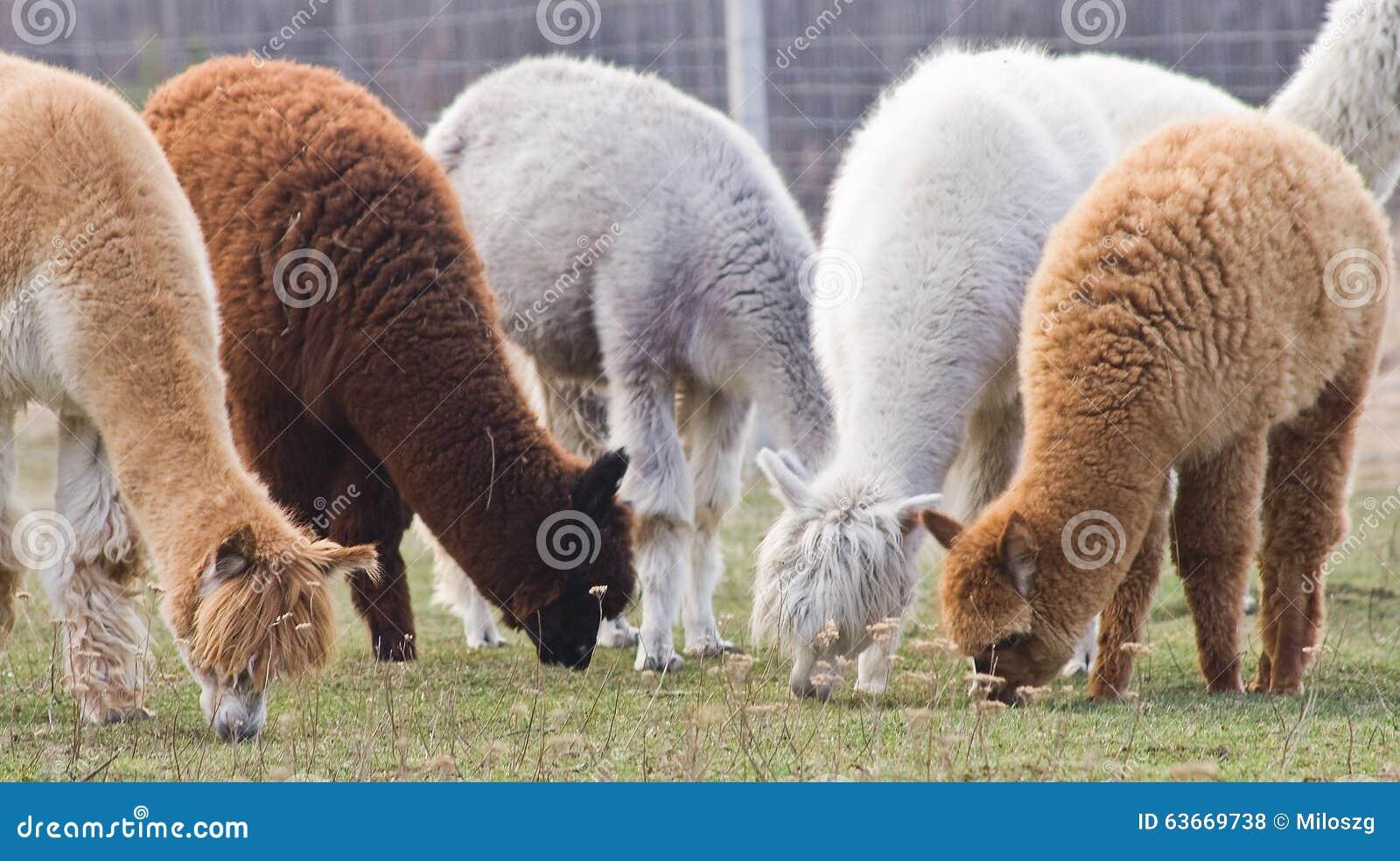 Alpaca op landbouwbedrijf