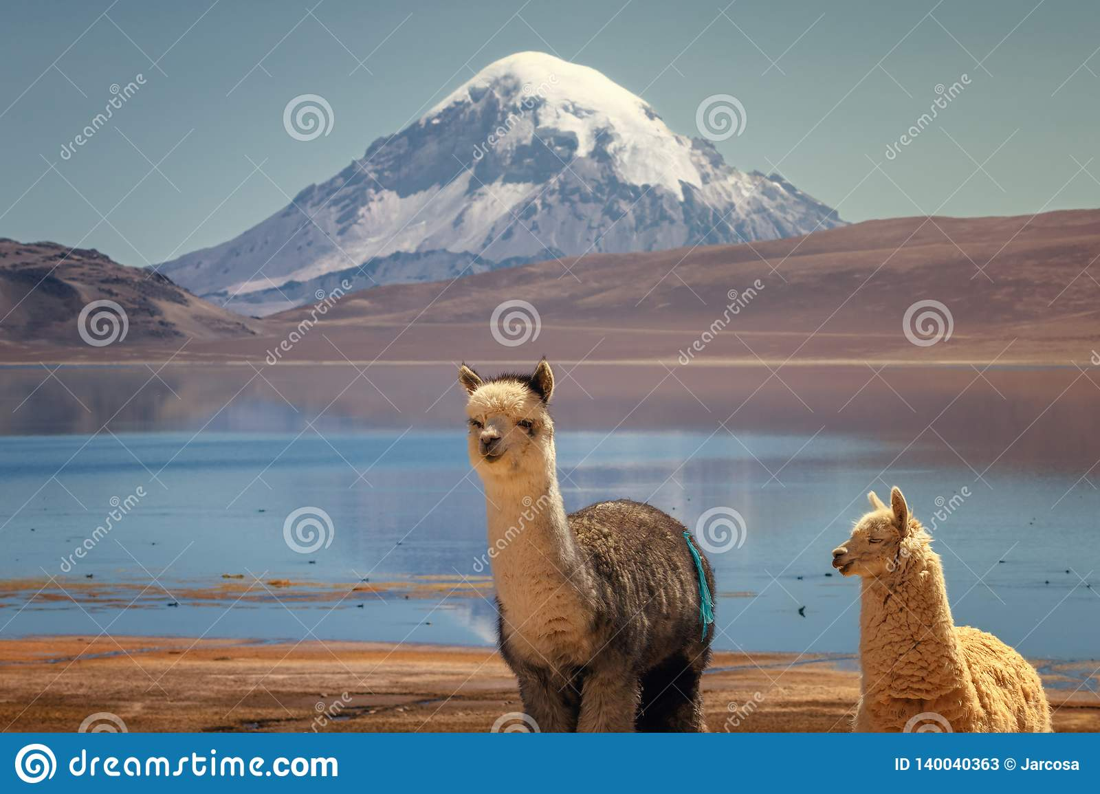 Alpaca`s Vicugna pacos grazing on the shore of Lake Chungara at the base of Sajama volcano, in the northern Chile