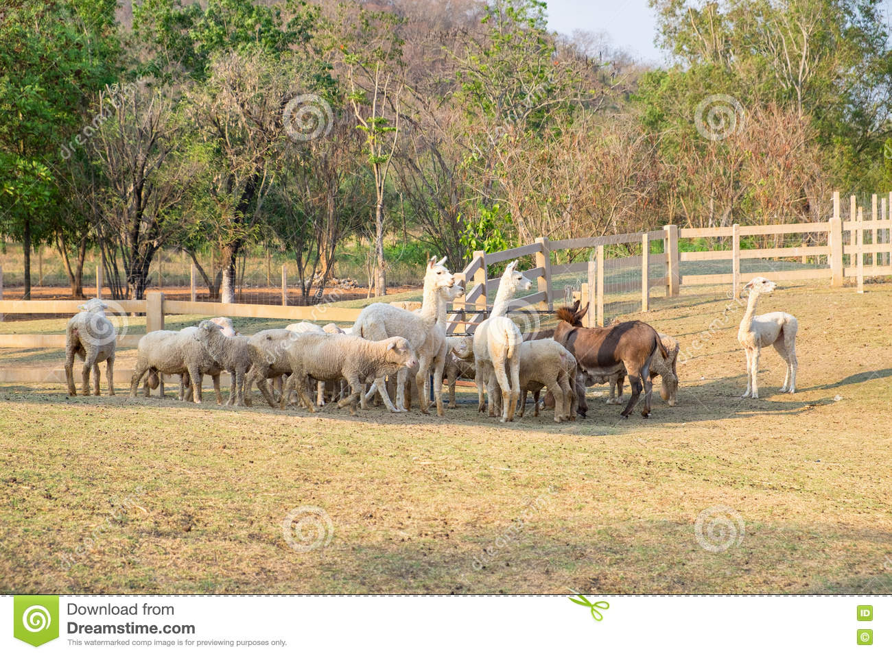 Alpaca in thailand farm royalty free stock image for Alpacas view farm cuisine