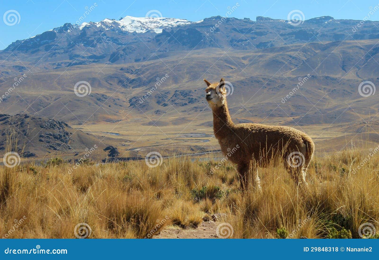 Alpaca na parte superior da montanha
