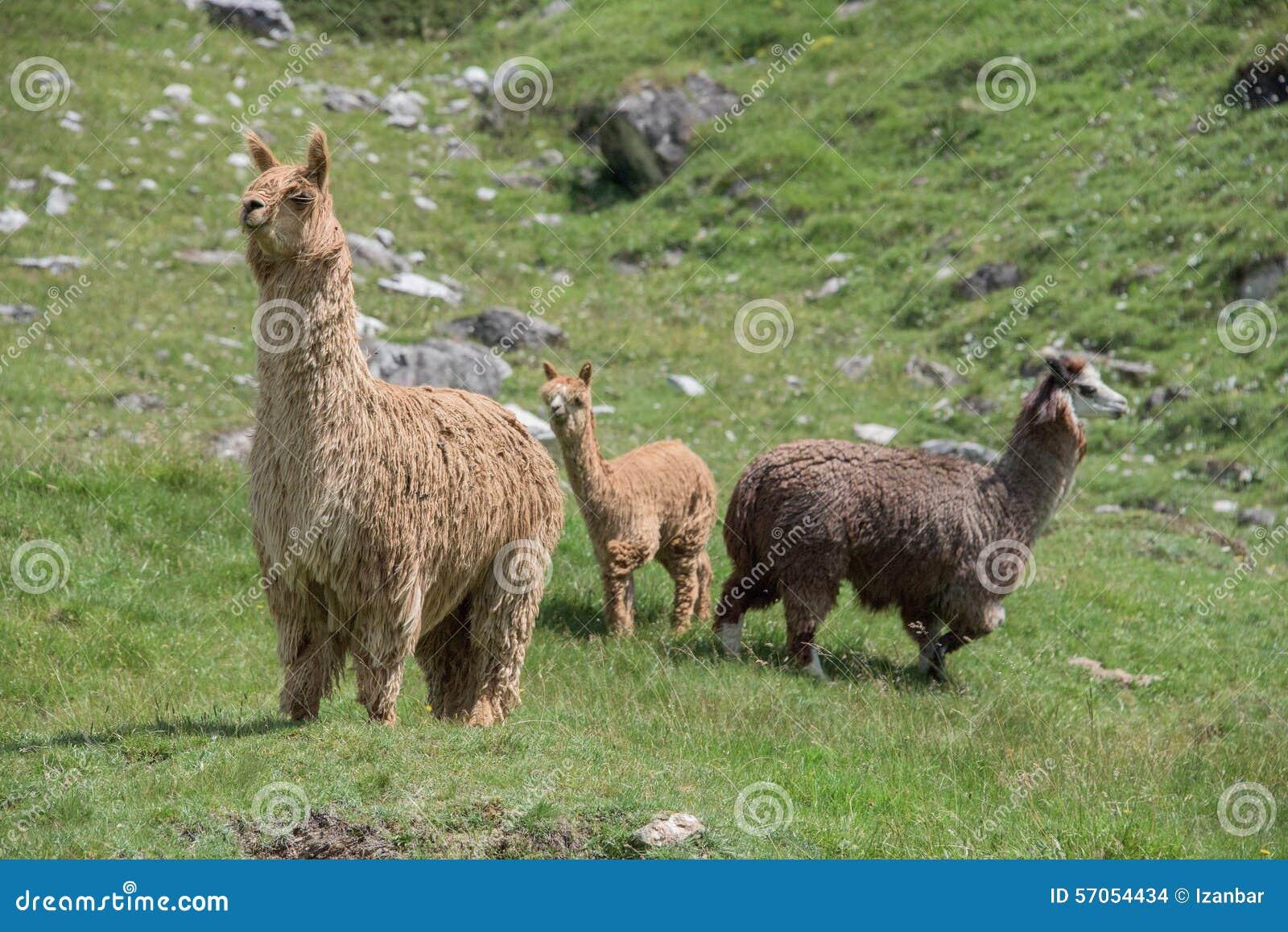 Alpacaportret terwijl het bekijken u