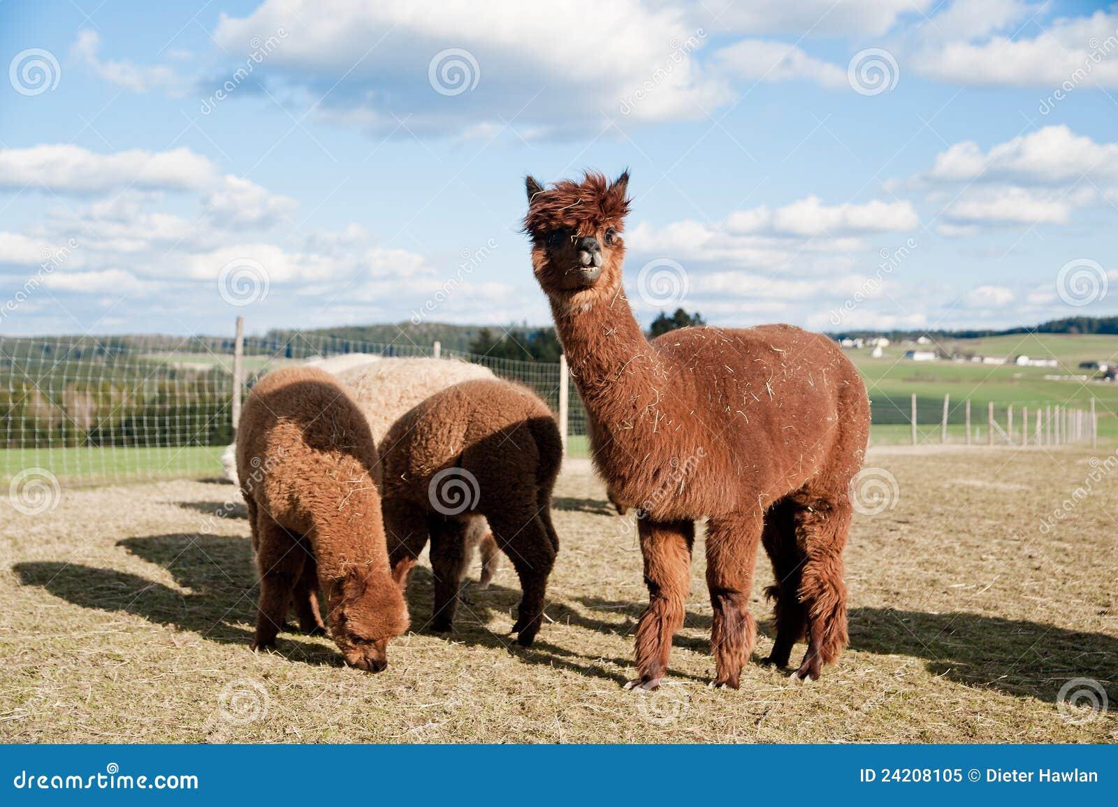 Alpacas褐色