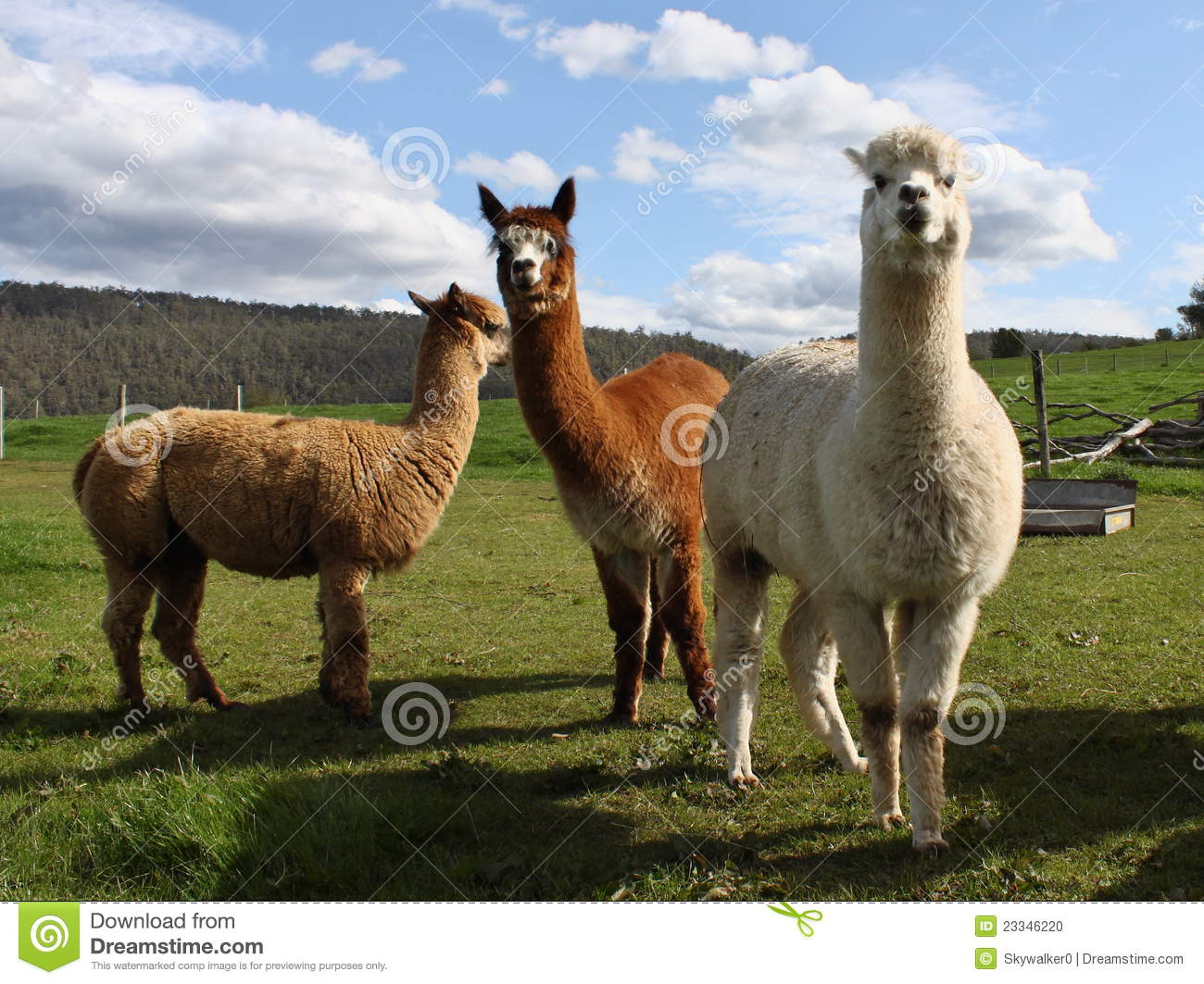 Alpacas in farm royalty free stock photo cartoondealer for Alpaca view farm cuisine bangkok