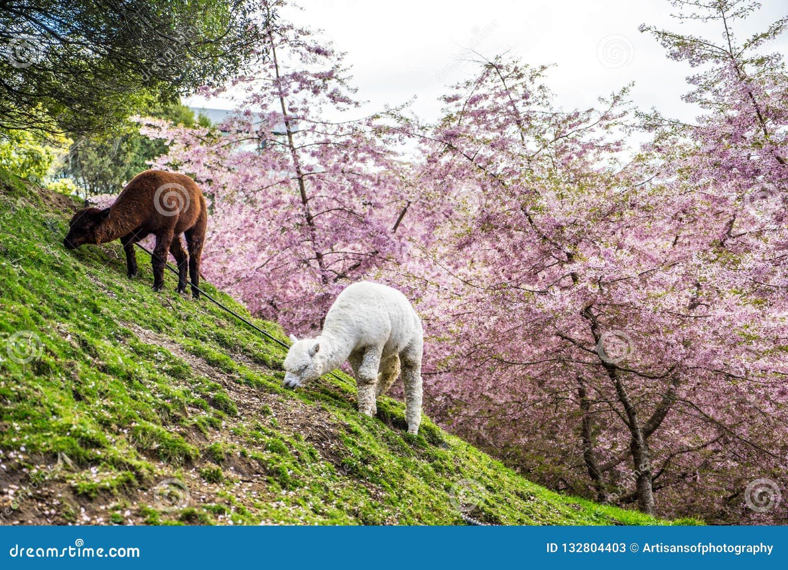 Alpacas grazing on green pasture