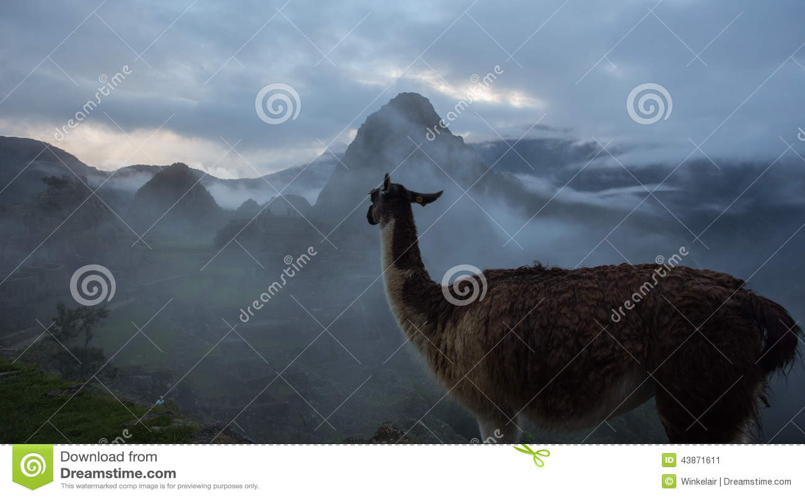 Alpaga aux ruines d Inca de Machu Picchu au Pérou