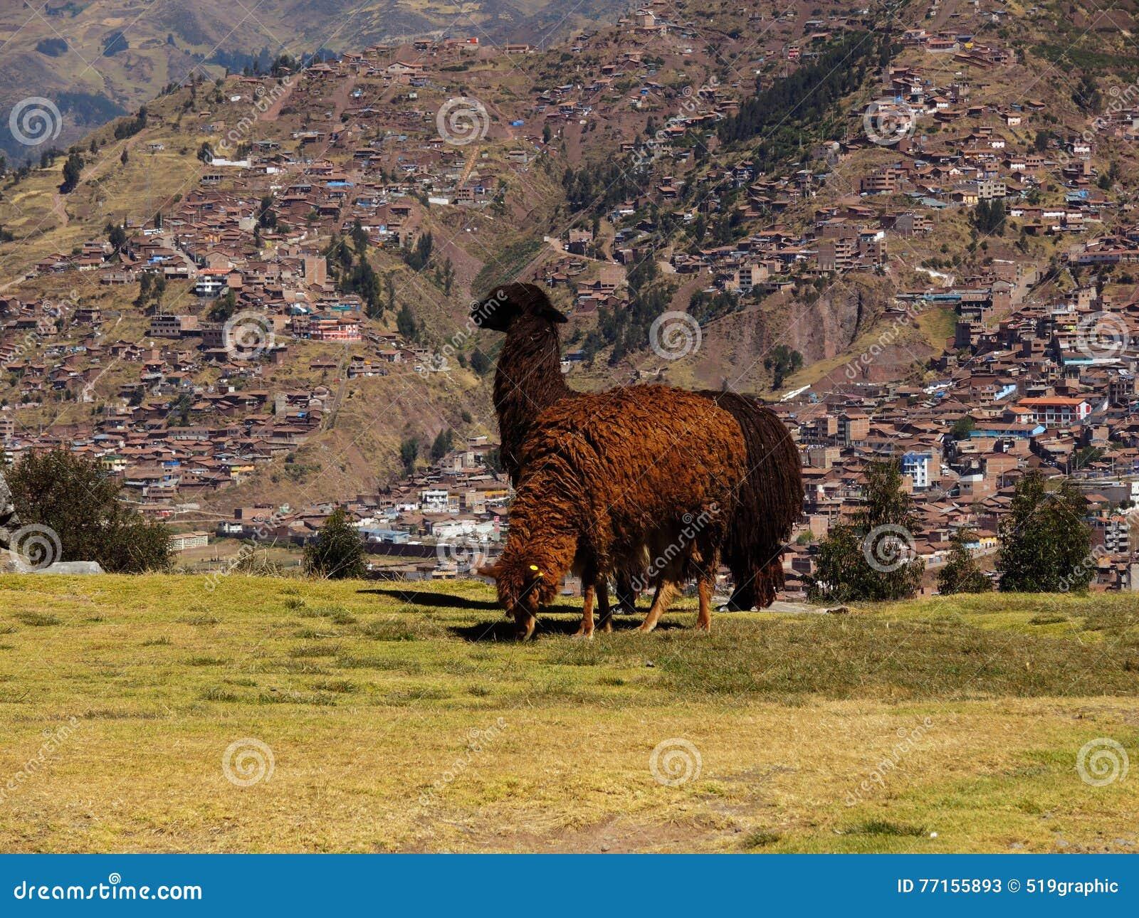 Alpaga dans Cusco, Pérou