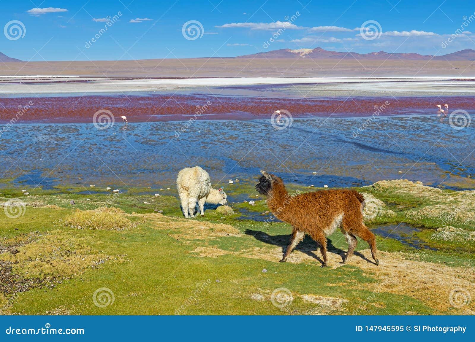 Alpaga par Laguna Colorada, Bolivie