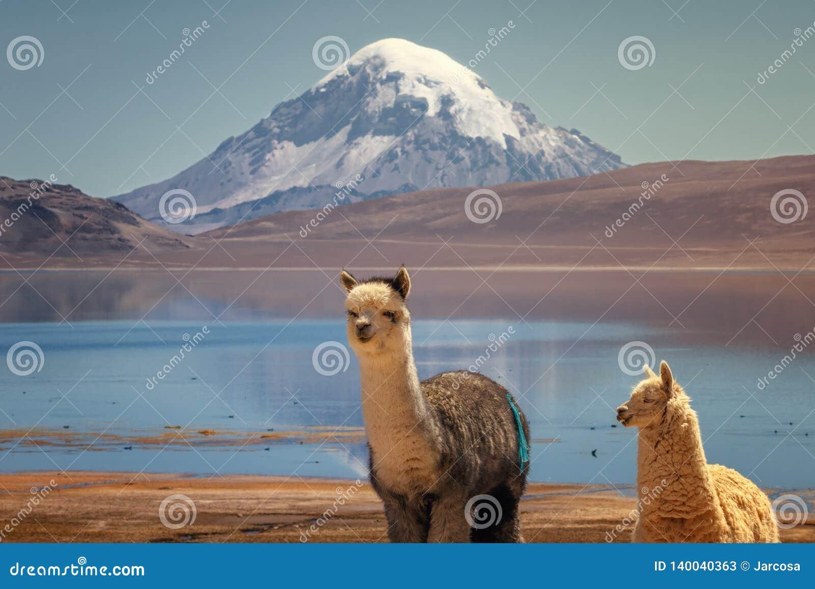 Alpagi Vicugna pacos pasa na brzeg Jeziorny Chungara przy bazą Sajama wulkan w północnym Chile,