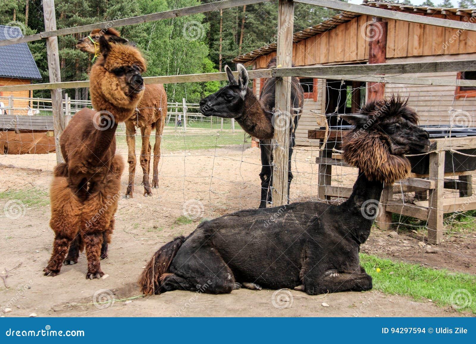 Alpaka und Lama mit lustiger Frisur