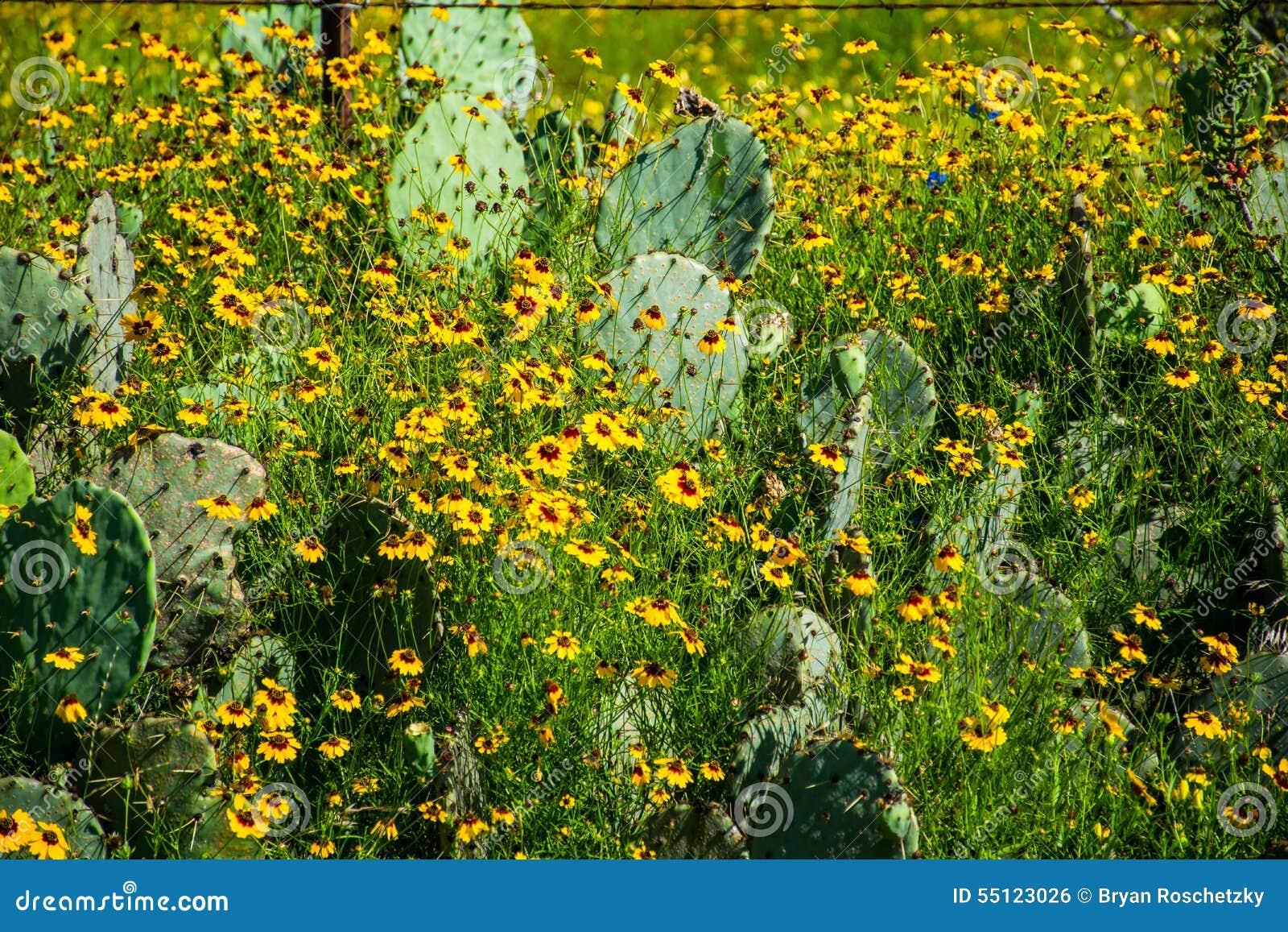 Alpeggio giallo in buona salute spesso dei fiori selvaggi di Texas Cactus