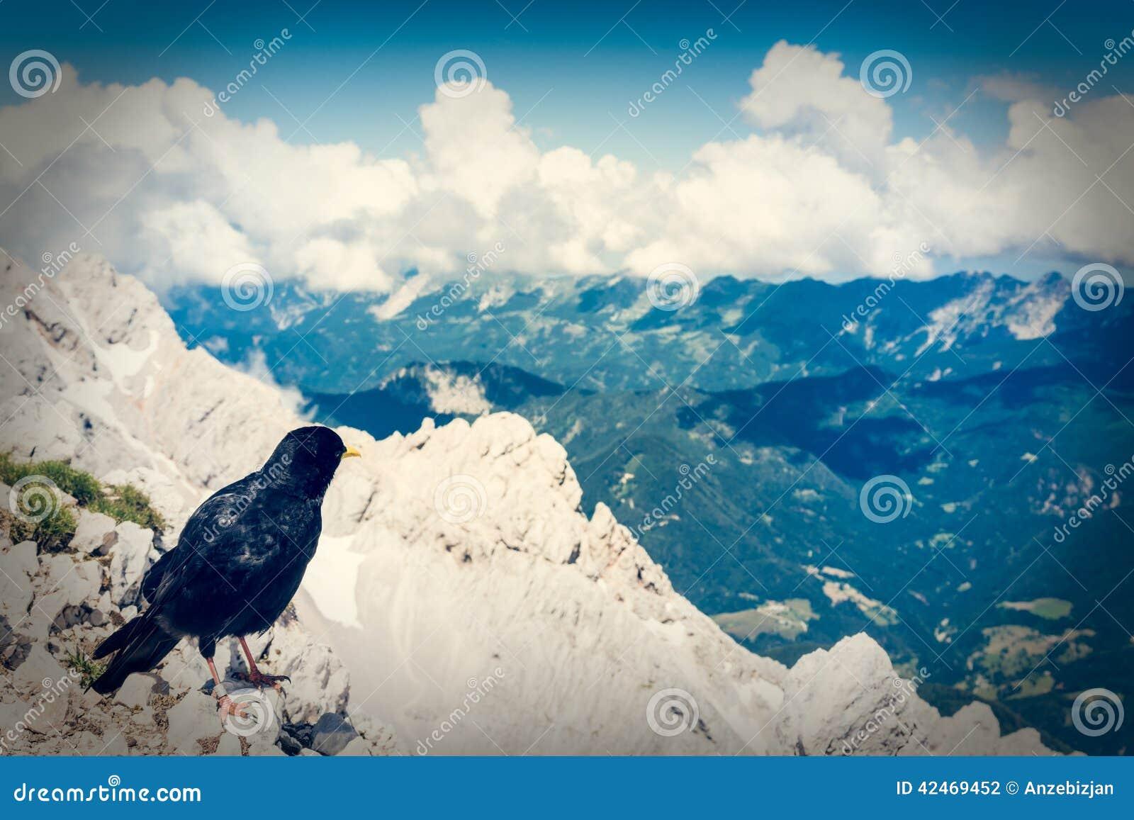 Alpendohle, die auf einem Felsen sitzt