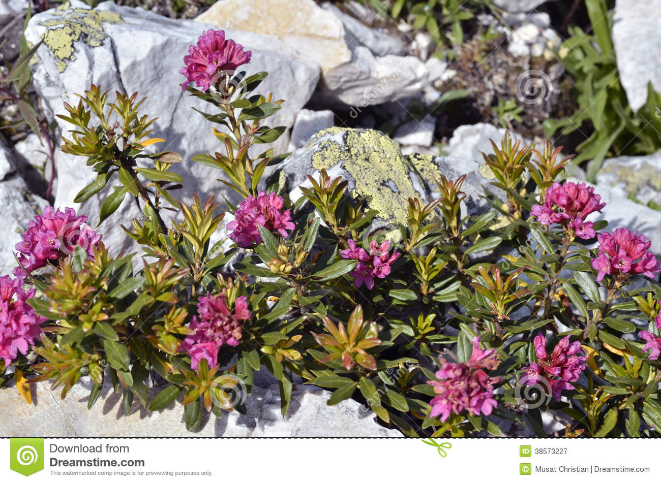Alpenrose Flower In The French Alps Royalty Free Stock graphy Image 3