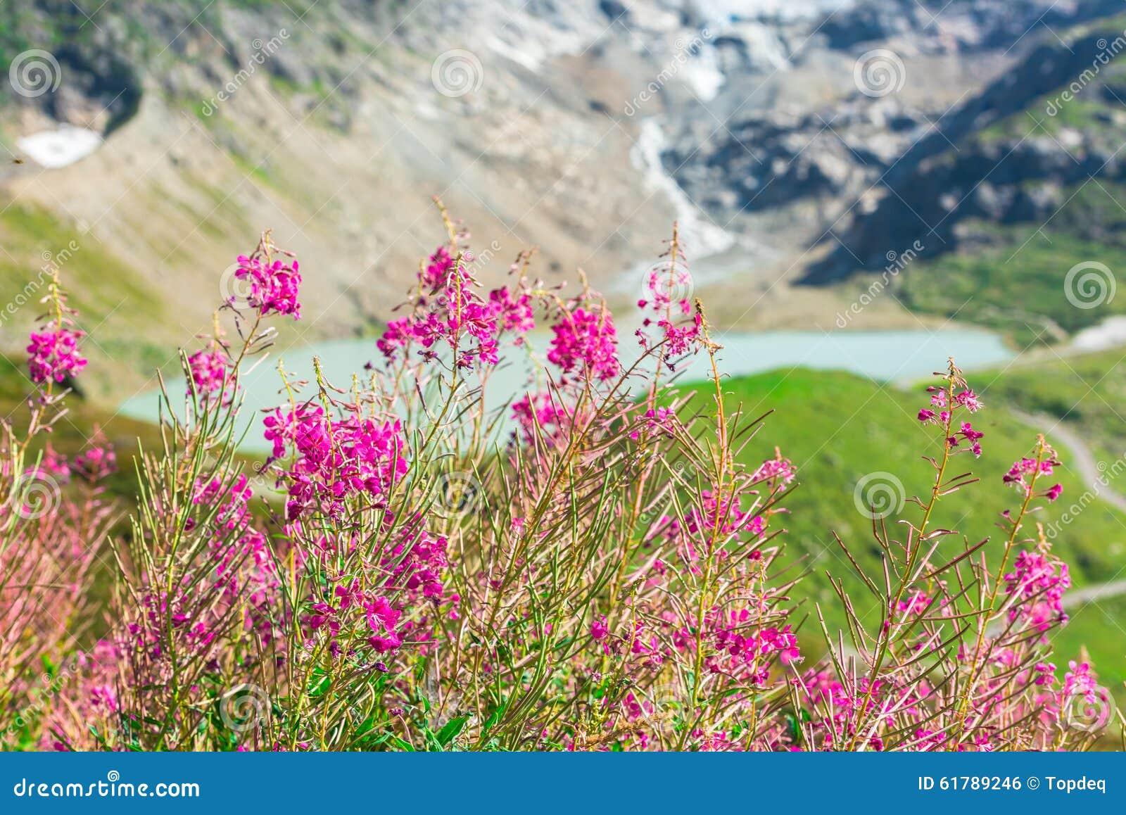 alpes suisses avec des fleurs de rose sauvage photo stock - image