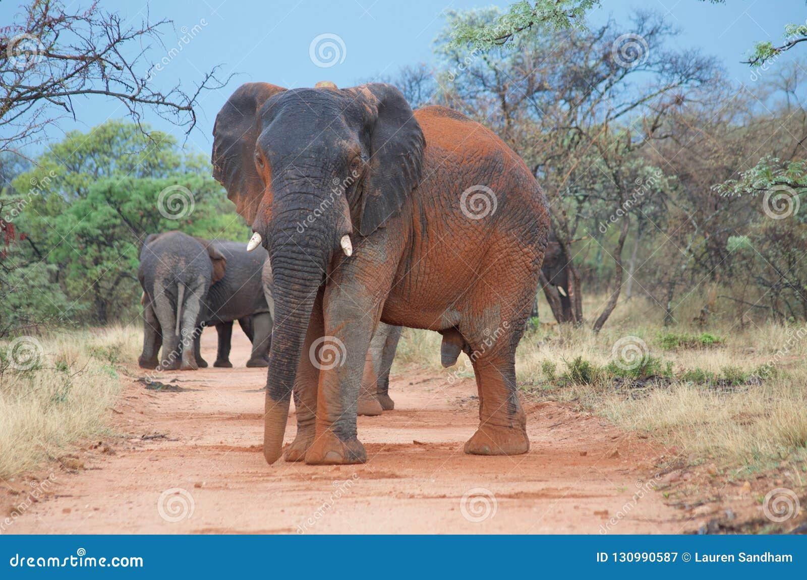 Alpha d éléphant