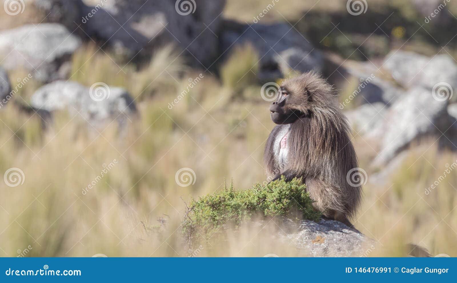Alpha Male Gelada sur la roche