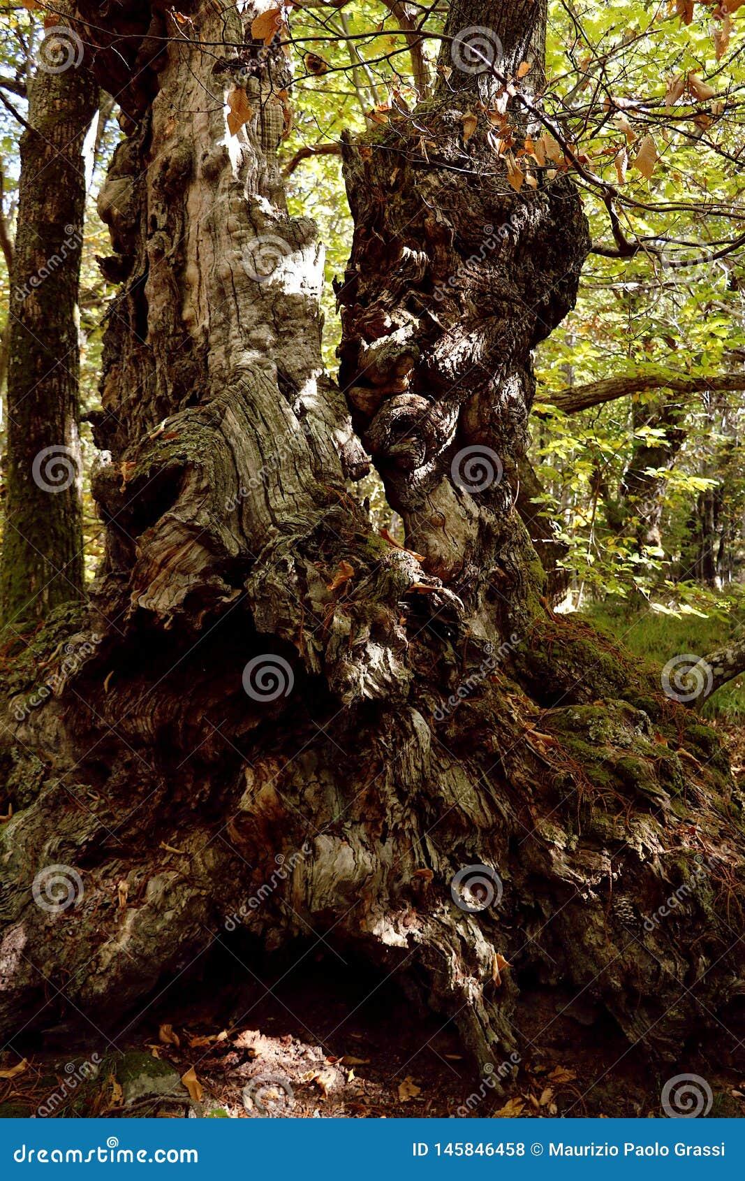 Alpi Apuane,马萨卡拉拉,托斯卡纳,意大利 大栗树