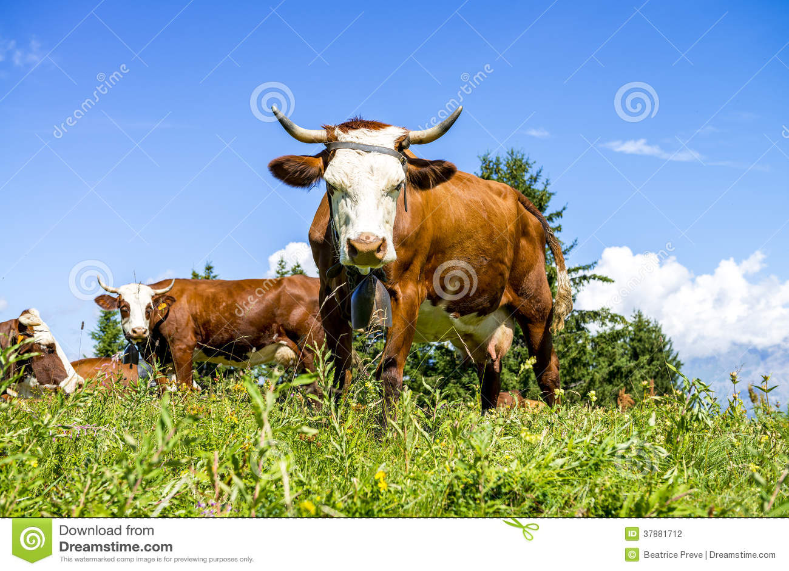 Alpiene koeien