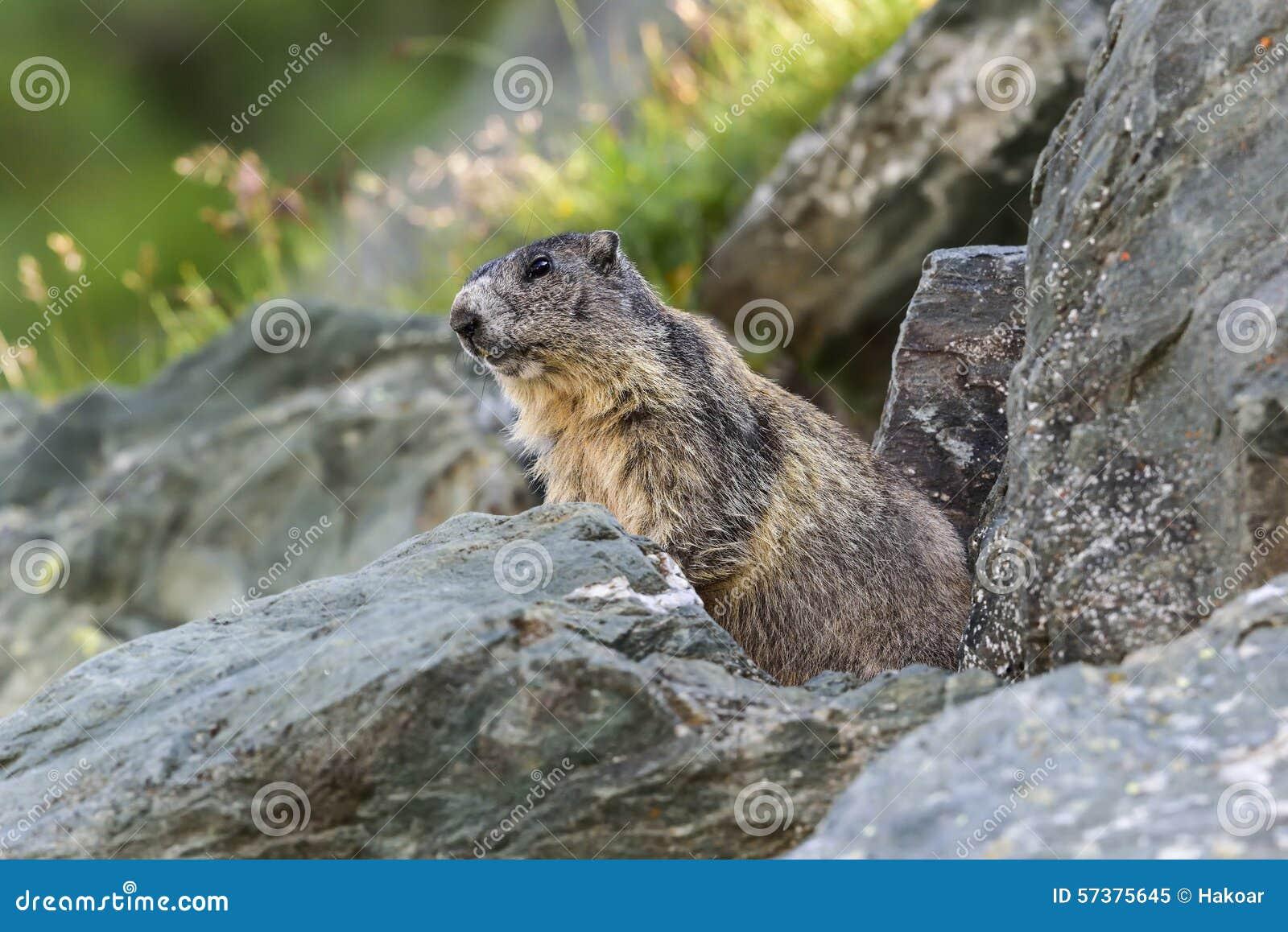 Alpiene marmot