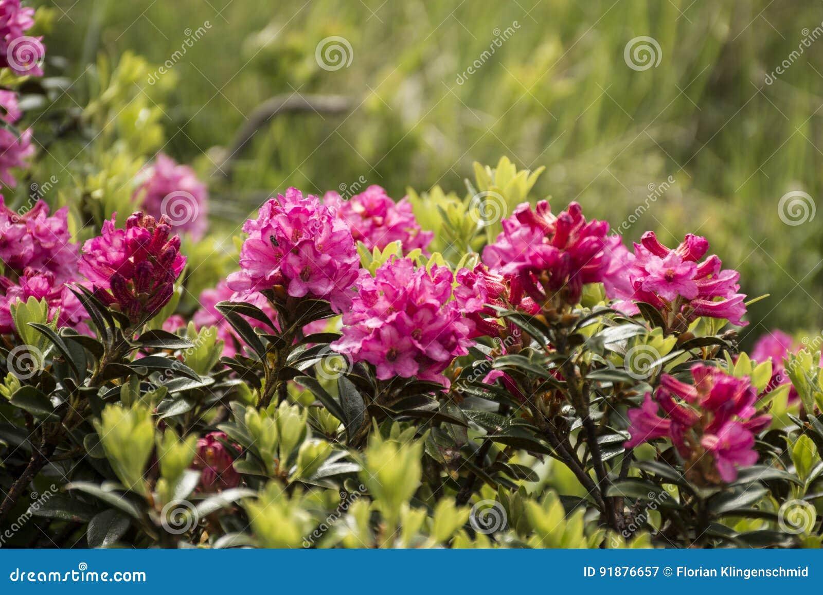 Alpiene rozen