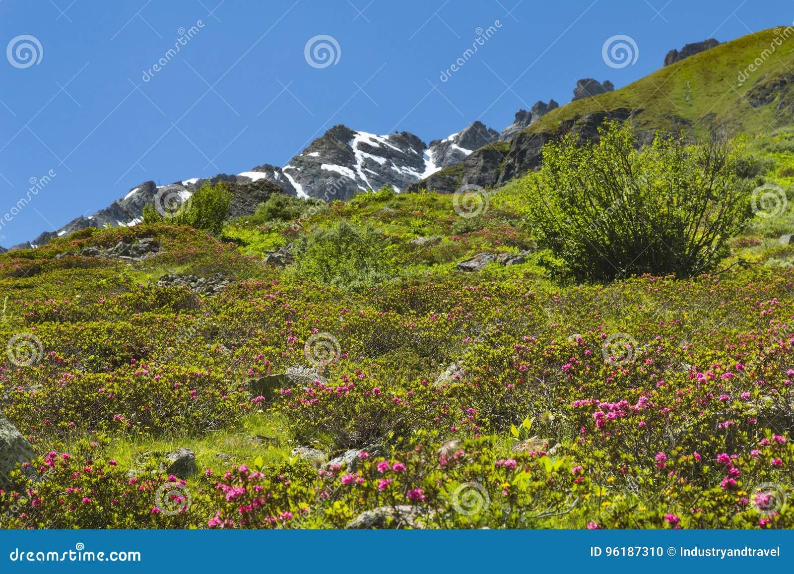Alpiene Rozen in de Zomer, Oostenrijk