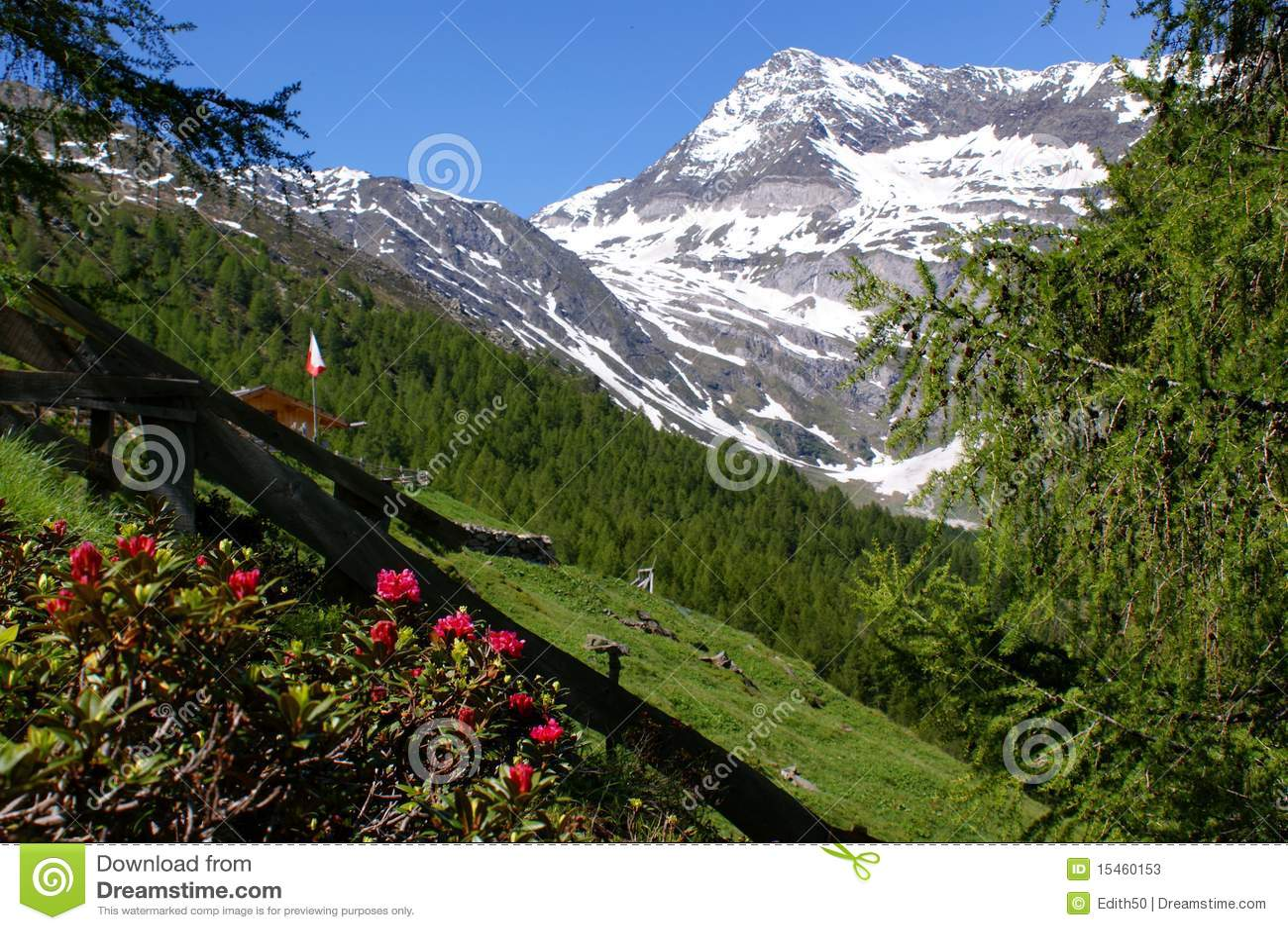 Alpiene rozen en montain  Hohe Wilde