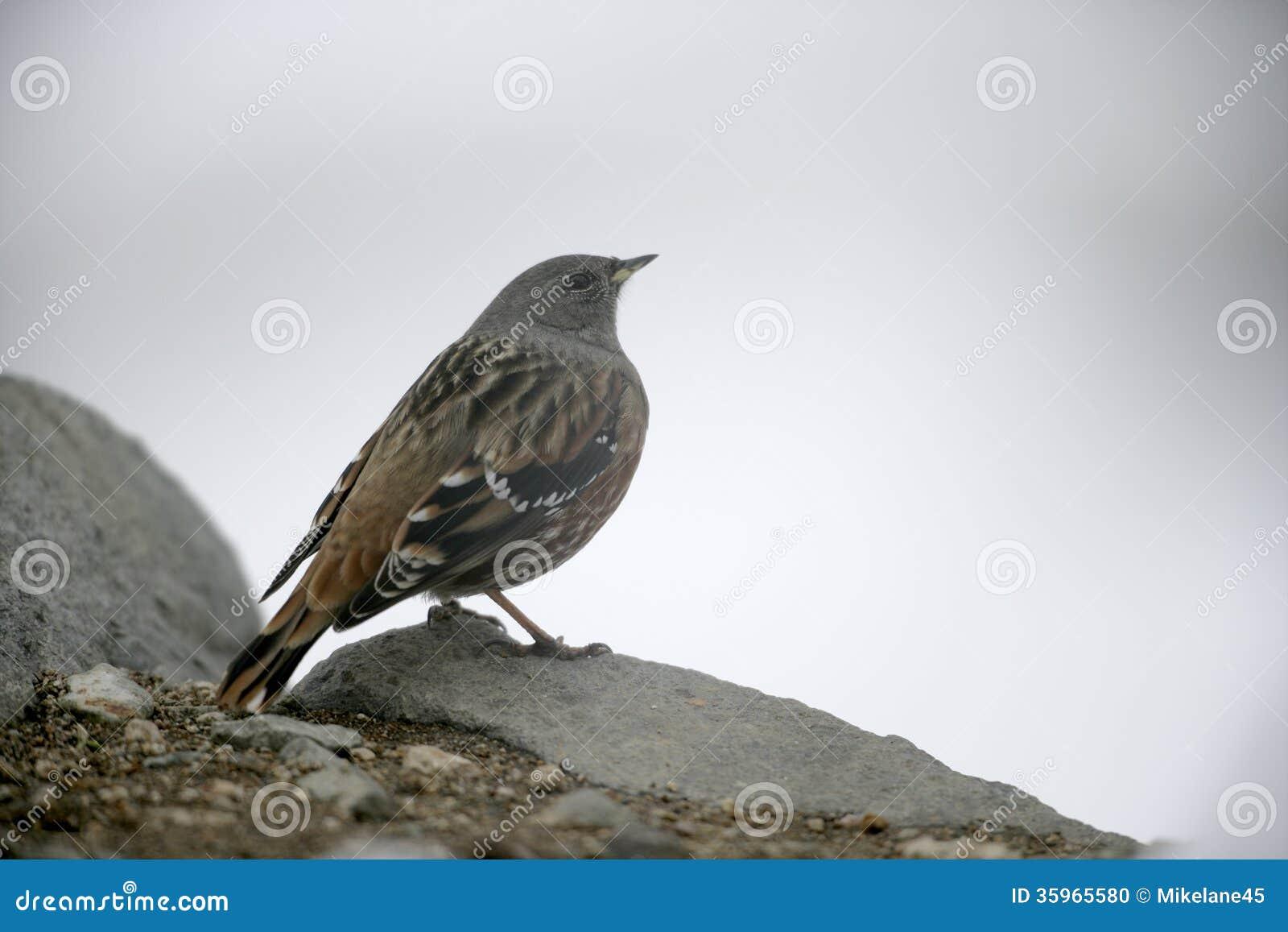Alpine accentor, Prunella collaris