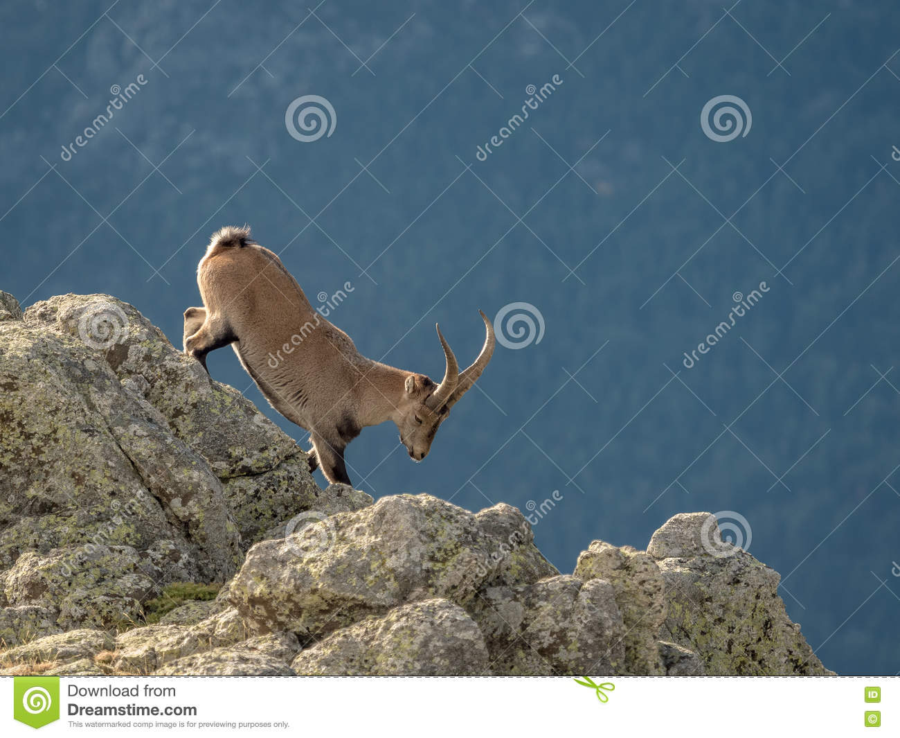 Alpine ibex male walking on the summit of the mountain