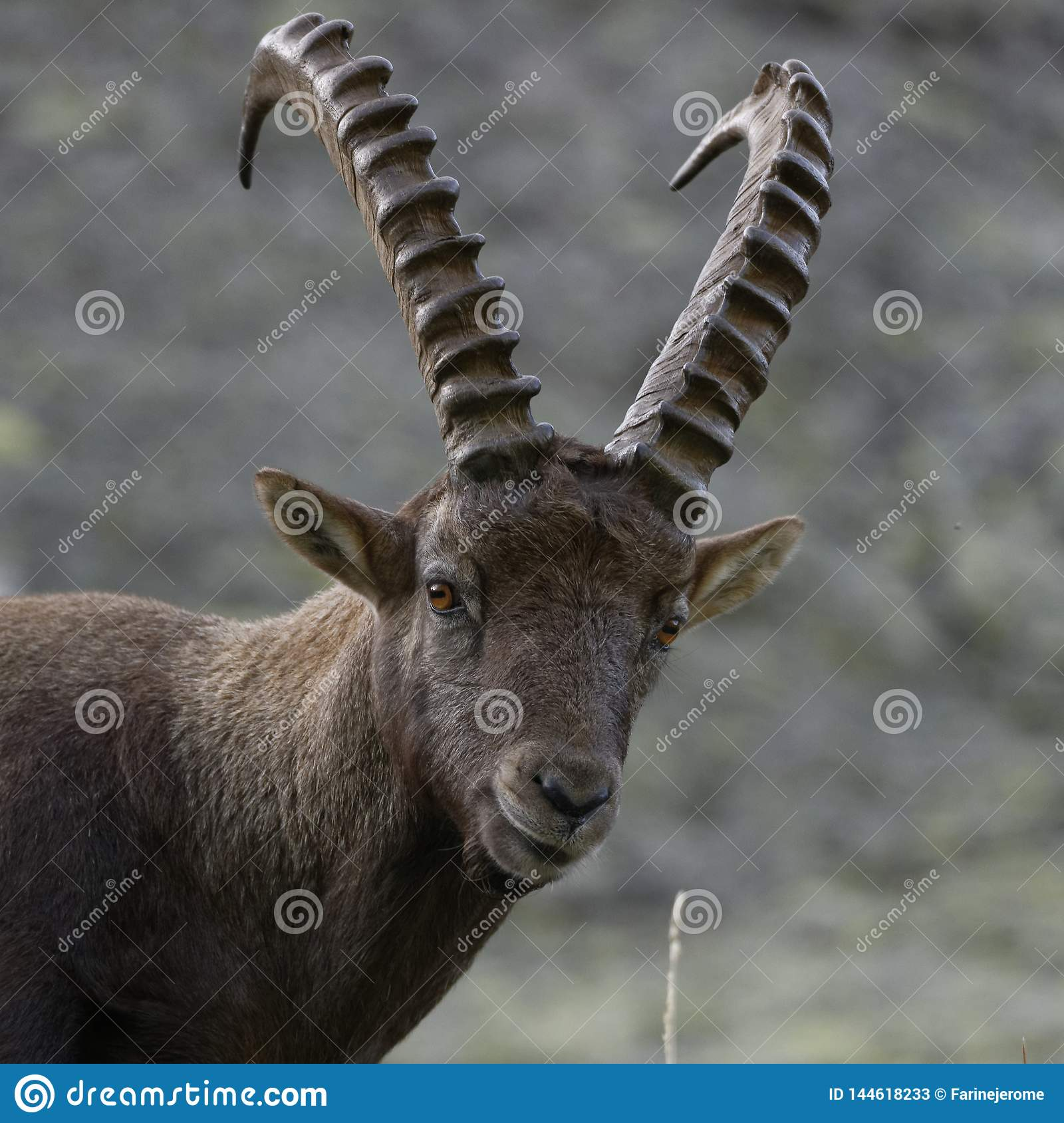 The Alpine ibex, the master of the mountains
