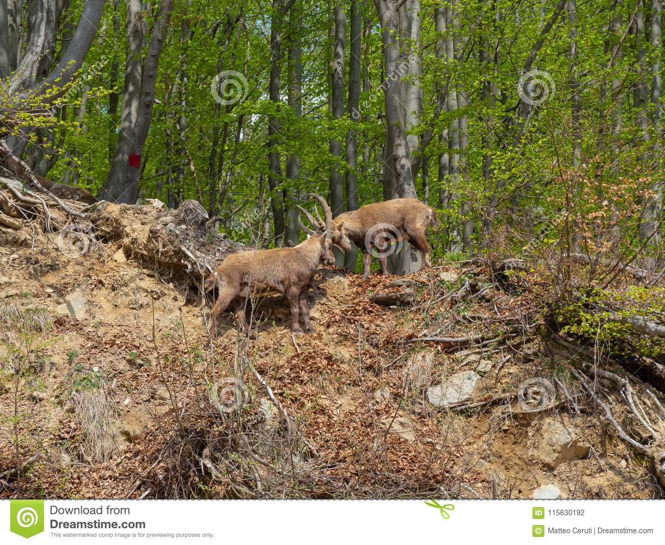 Alpine ibex or steinbock in spring season fight with horns. Italy, Orobie Alps