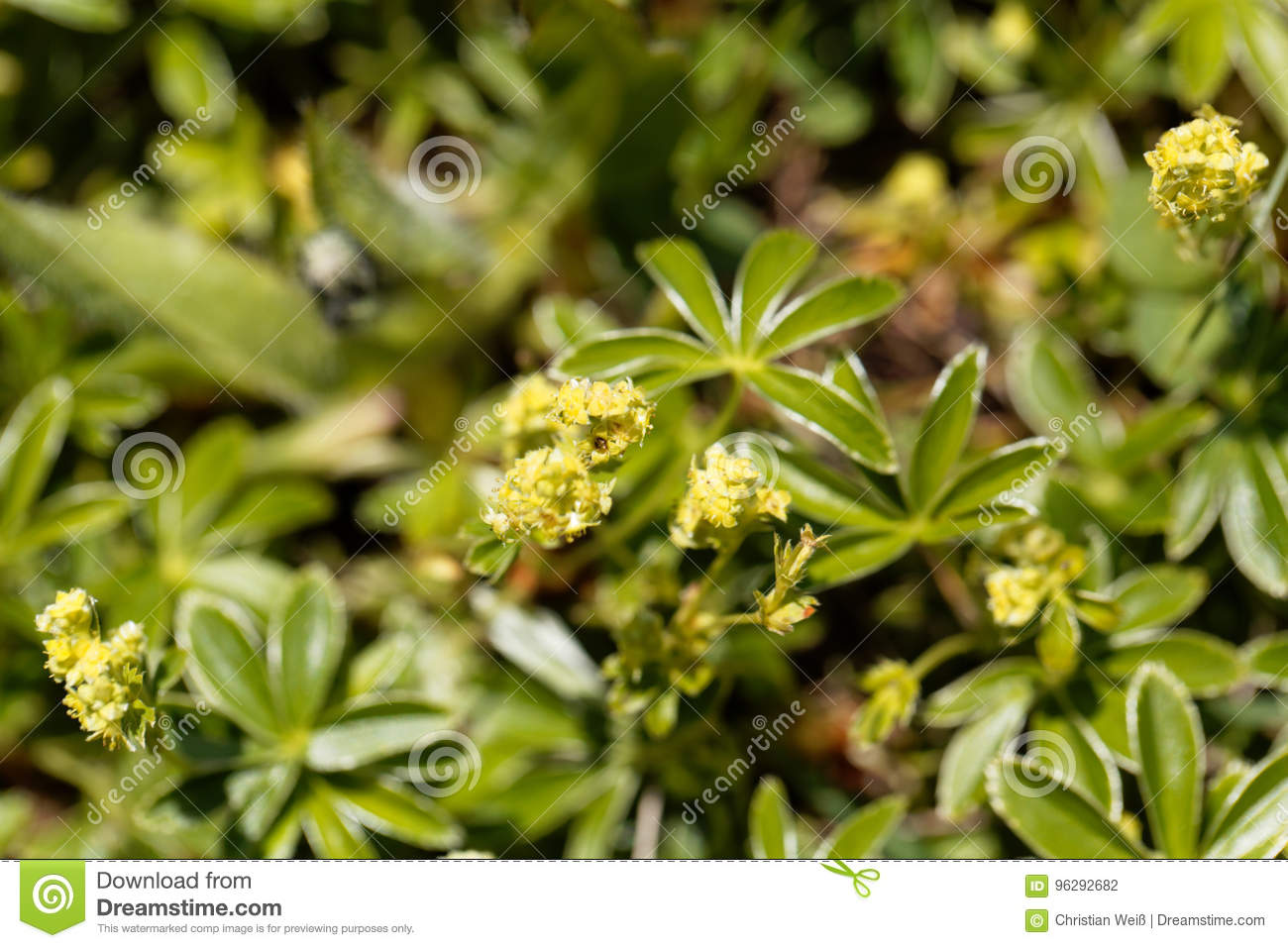Alpine Lady Mantle Alchemilla Alpina Stock Photo Image Of - Alchemilla alpina