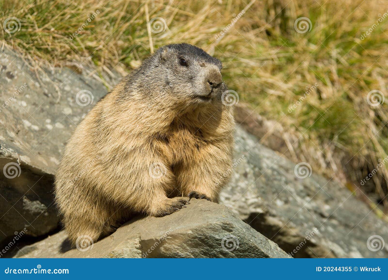 Alpine Marmot Royalty Free Stock Photo - Image: 20244355
