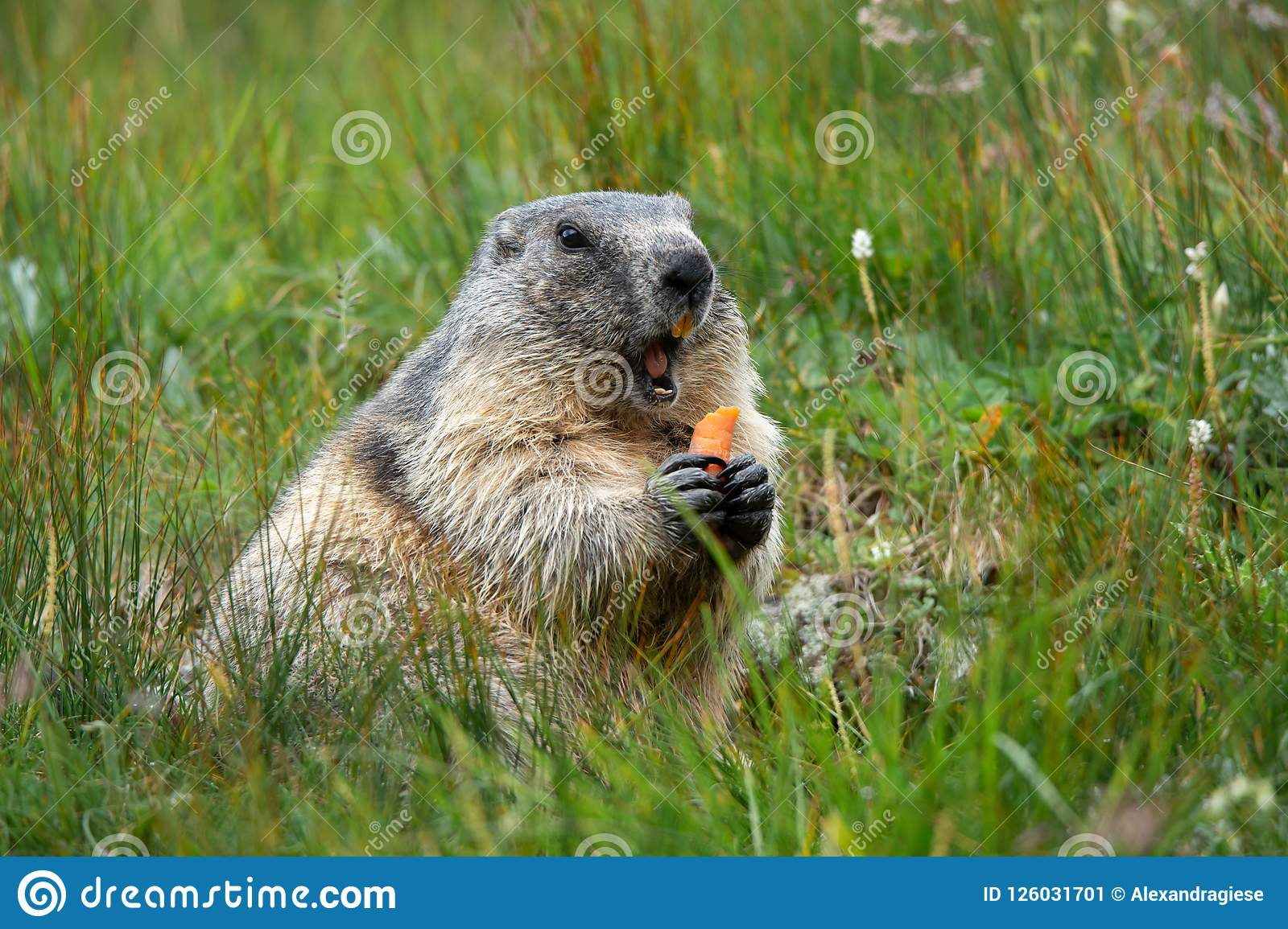 Alpine marmot with a carrot in the claws making a warning cry