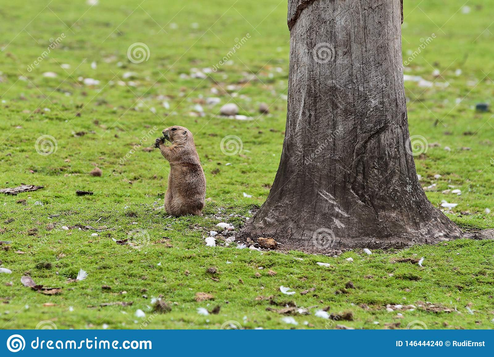 Alpine marmot, marmota marmota, in the zoo