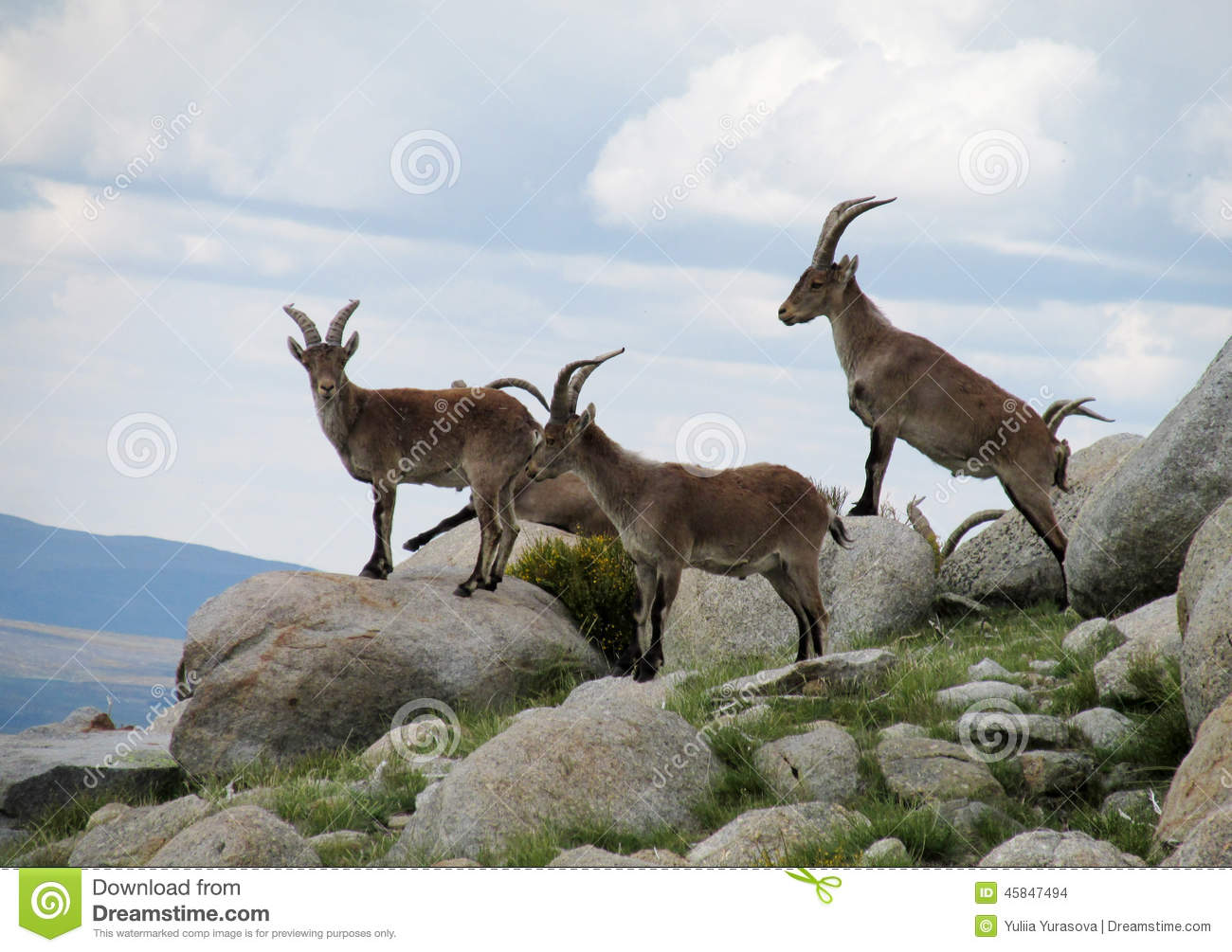 Alpine goats with horns - photo#24