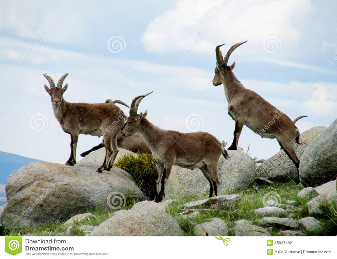 Alpine goats with horns - photo#26