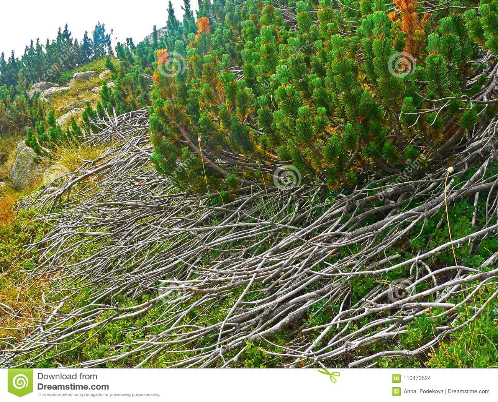 Alpine mountain vegetation close up background plant Pinus mugo textures and grass.