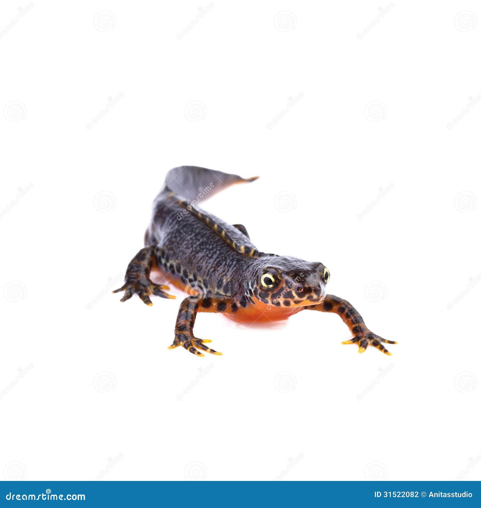salamander white background - photo #21