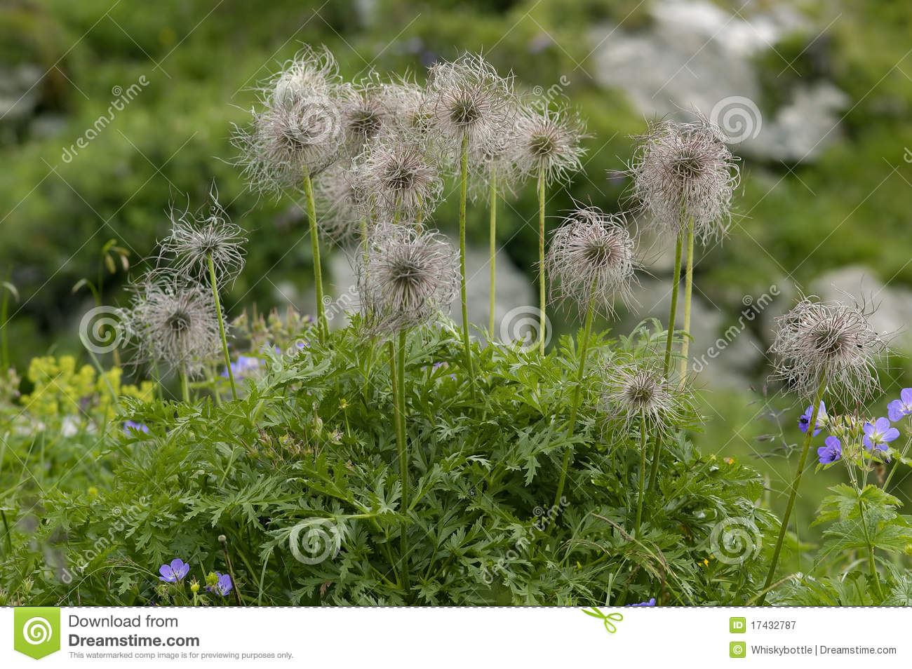 Alpine Pasque Flower Seeds Royalty Free Stock Photography ...