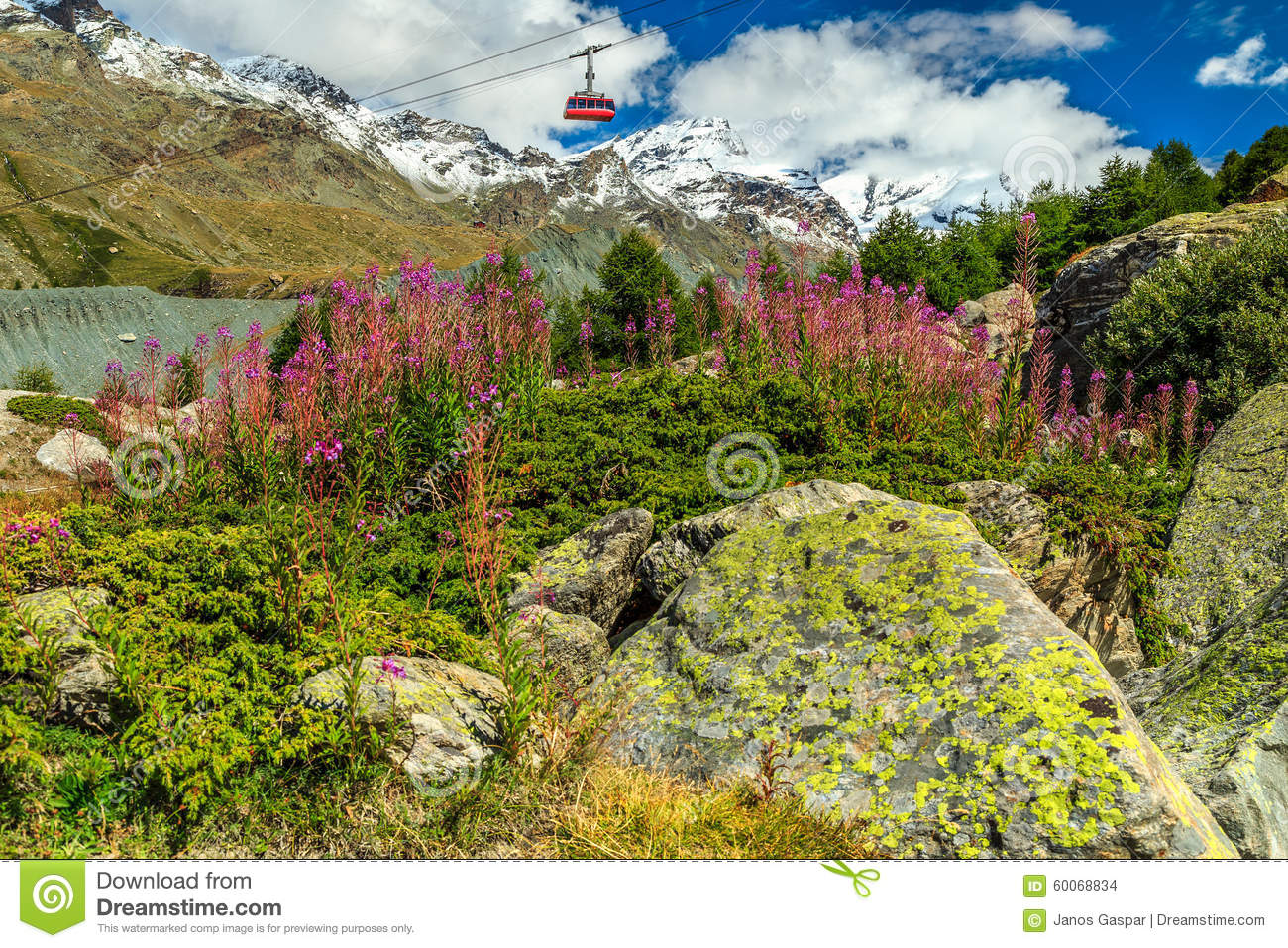 Alpine Pink Flowers And Snowy Mountainsswitzerlandeurope Stock