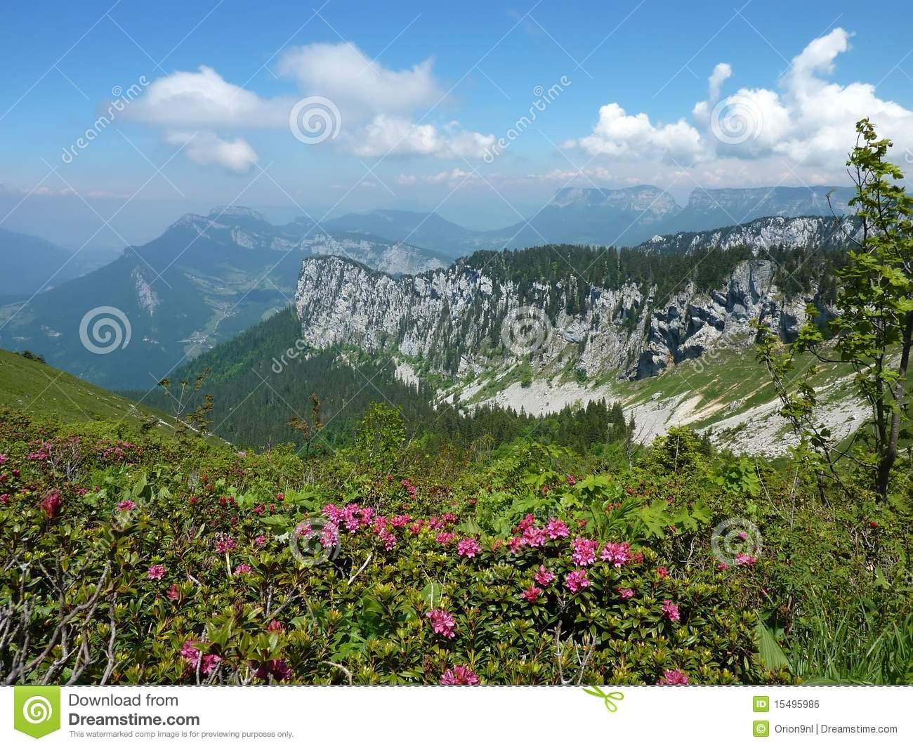 Alpine Roses in the Chartreuse