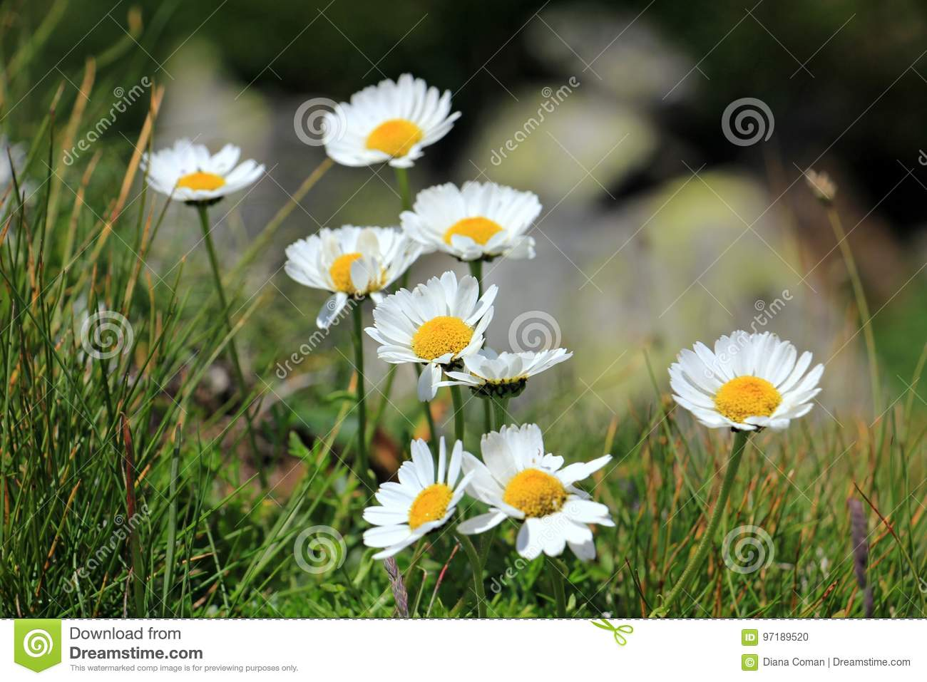 Alpine White Flowers Daisies Bellis Perennis Stock Photo Image