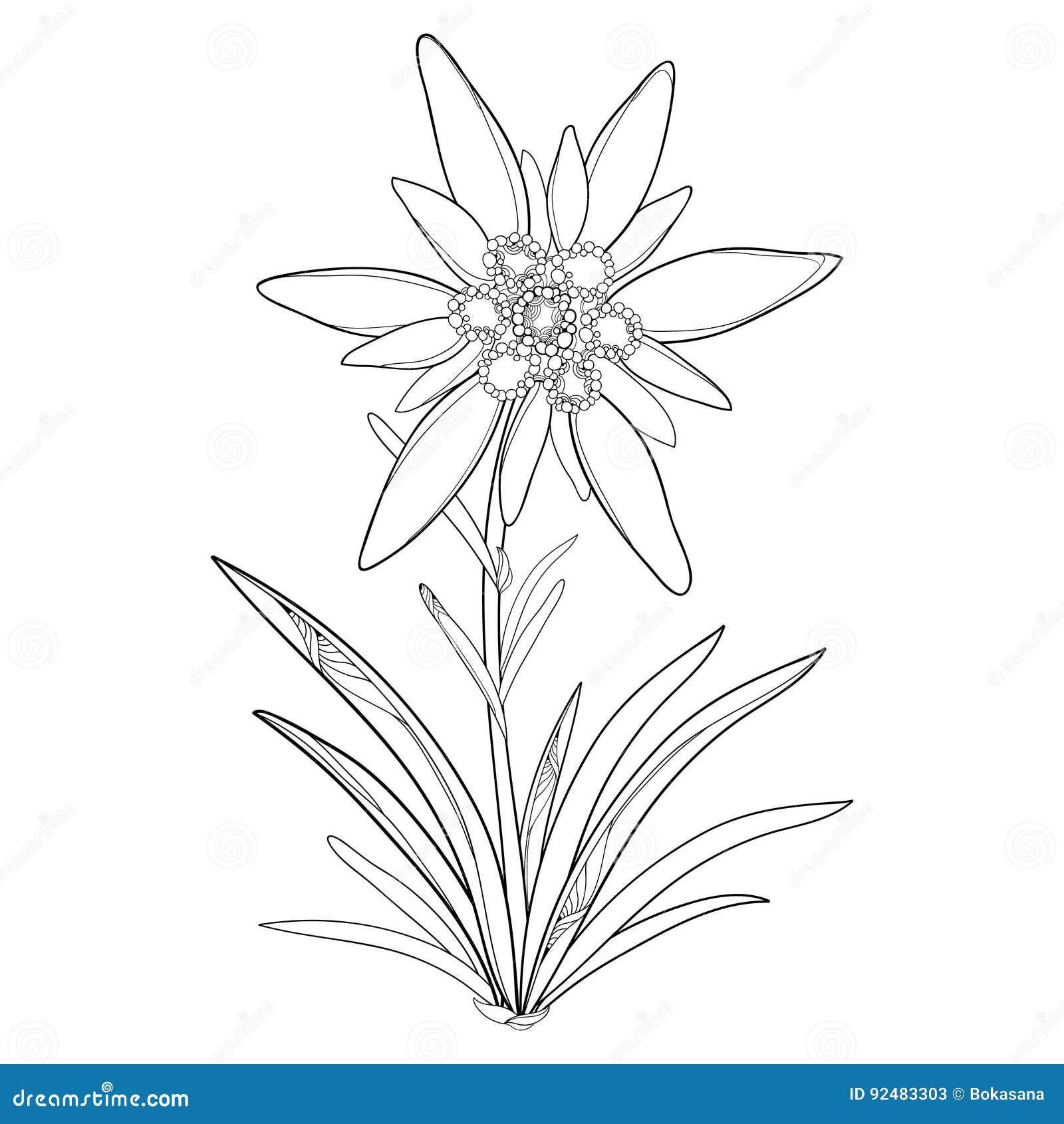 Coloriage Fleur Edelweiss.Alpinum D Edelweiss Ou De Leontopodium D Ensemble De Vecteur Fleur