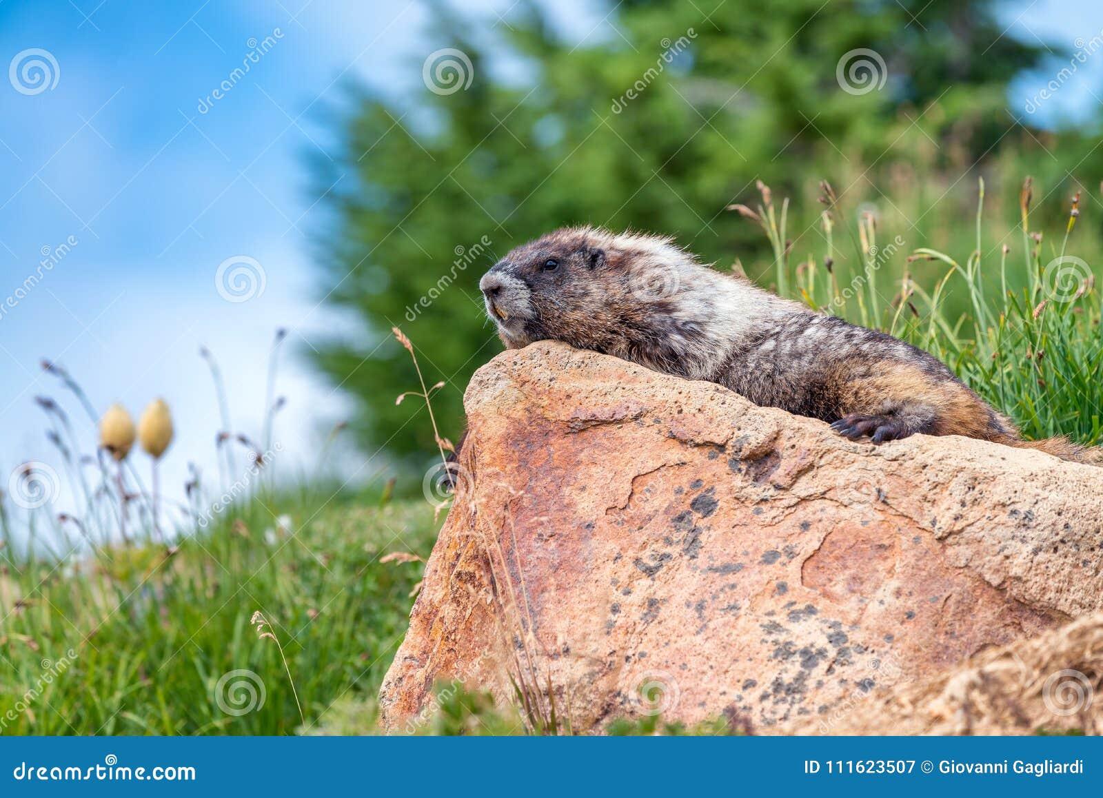 Alrededores de observación de la marmota hermosa Escenario de la montaña