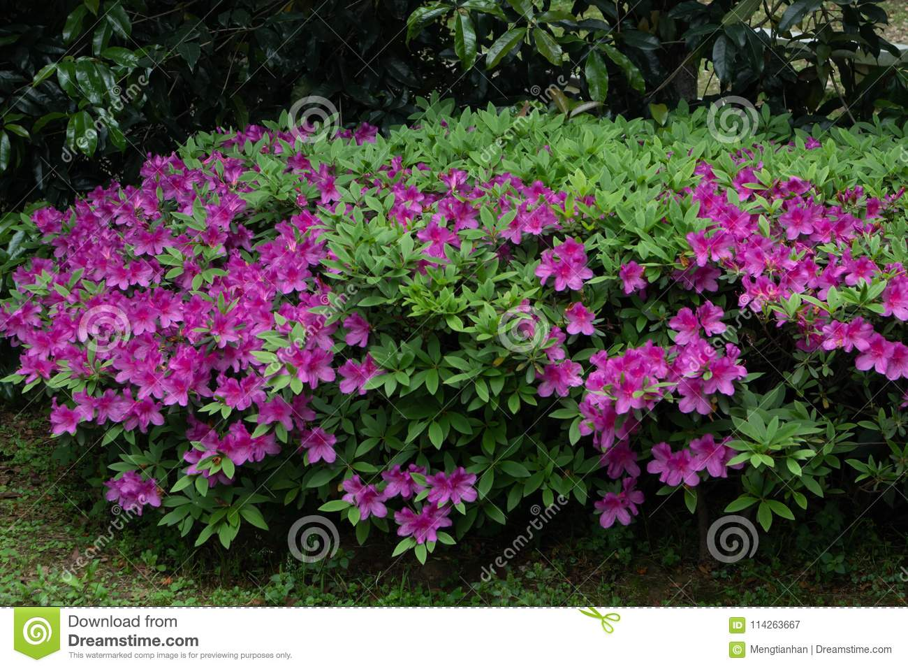 Rhododendron simsii Planch