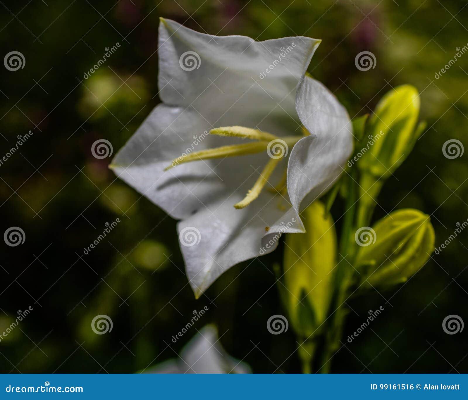 Glorious Flower Of Cuba Jamaican Bell Flower Bedfordshire Macro