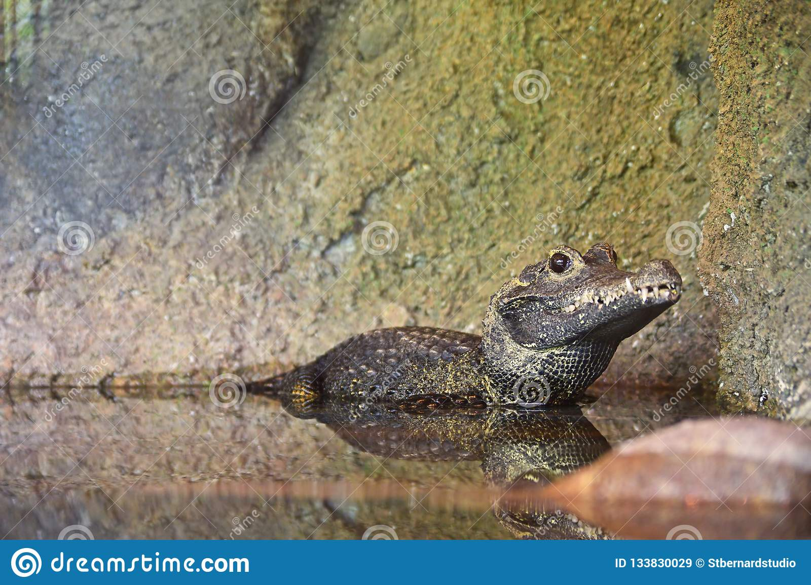 African Dwarf Crocodile resting with half of the body submerged in the water while looking sharp into the lense