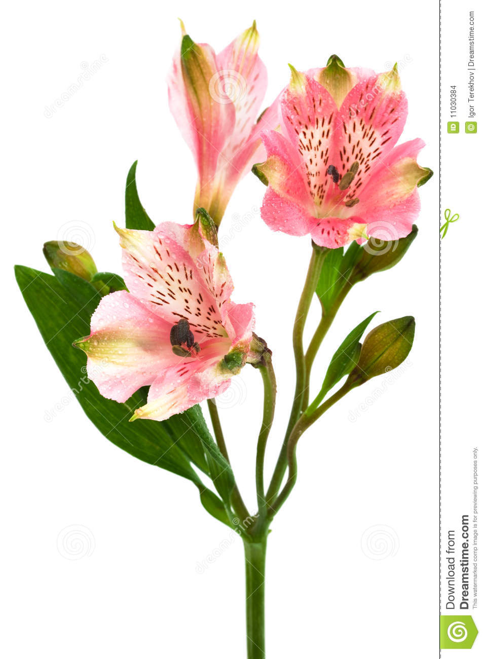 Beautiful pink alstroemeria on a white background.