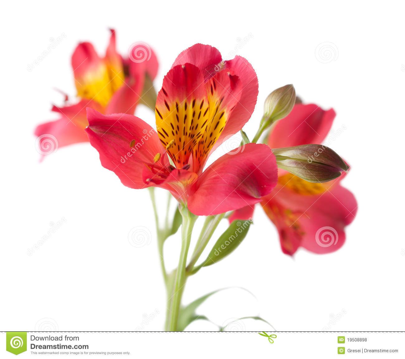 alstroemeria flowers  flower, Natural flower