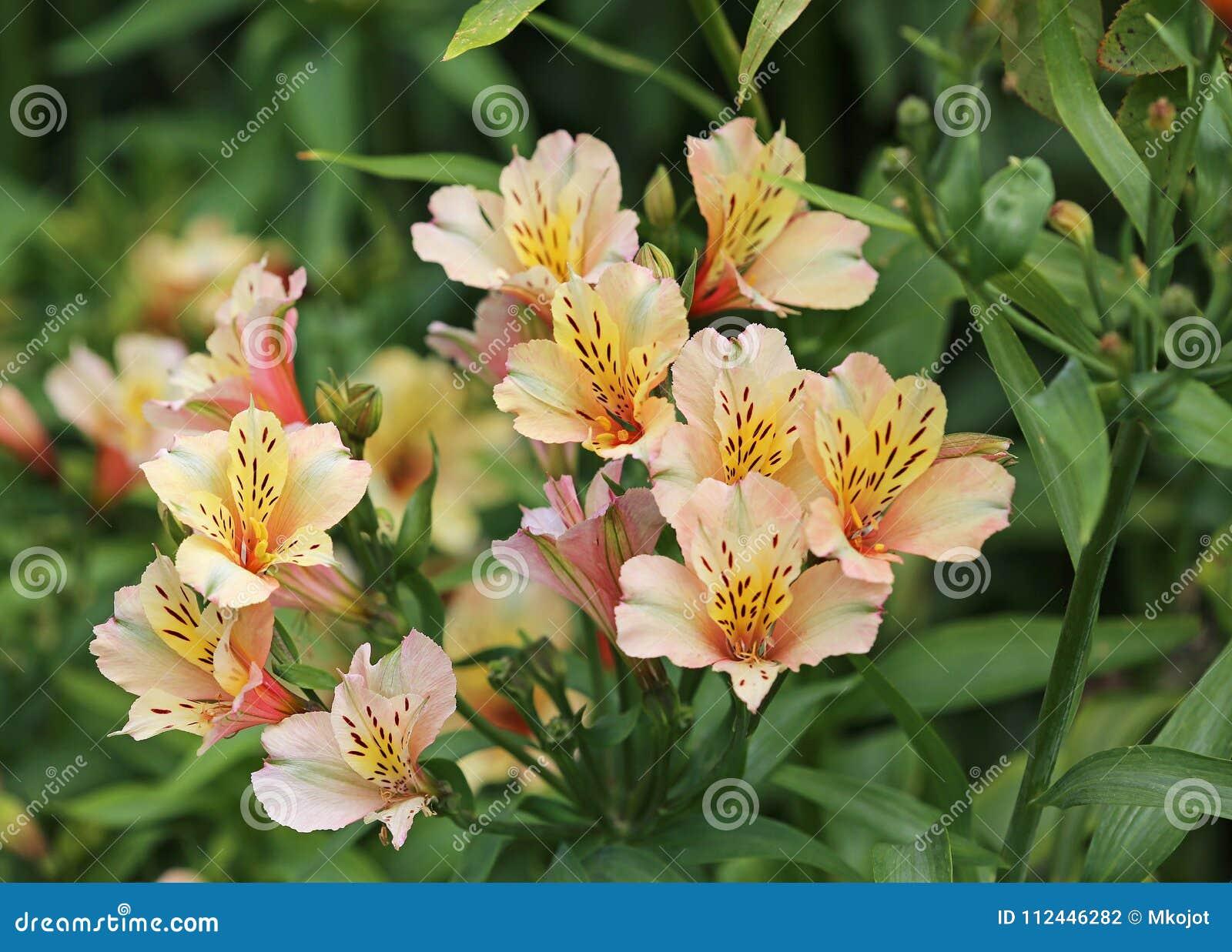 Alstroemeria flower stock photo image of alstroemeria 112446282 alstroemeria flower izmirmasajfo Gallery