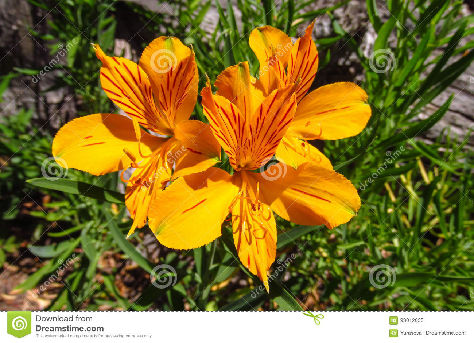 Alstroemeria Flower Peruvian Lily Orange Flower Stock Image Image